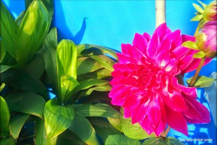 blooming spring flower dahlia photography on pumpernickel pixie