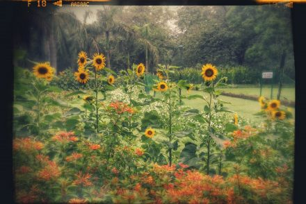 garden sunflower sunshine nature look at the bright side keep your face towards the sunshine look for the sunshine happy positive grateful gratitude bright bold beautiful cheerful one week one photo on pumpernickel pixie