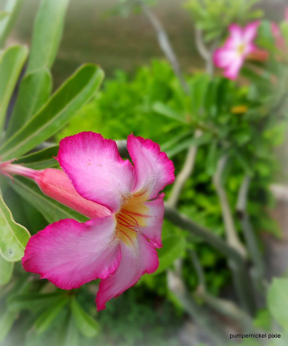 pretty, flower, pink, garden, bloom, summer, nature, beauty, one week one photo on pumpernickel pixie